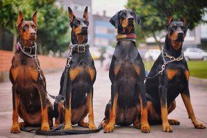 Nuôi chó Doberman Pinscher: Kinh nghiệm chăm sóc và huấn luyện