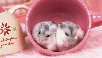 Nuôi chuột hamster kiếm 100 triệu/ tháng, nuôi sống cả gia đình