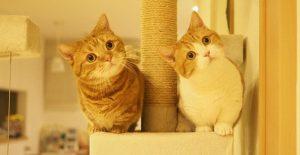 Những chú mèo chân ngắn Munchkin chắc chắn sẽ giúp chúng ta có thêm niềm vui