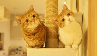 Nuôi mèo Munchkin chân ngắn không khó với loạt bí quyết sau
