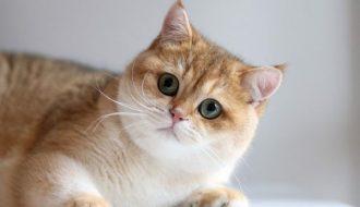 Phụ kiện cần thiết dành cho mèo Anh lông ngắn