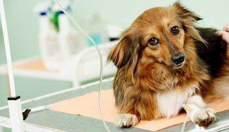 Phương pháp chữa bệnh Parvo ở chó chi tiết nhất