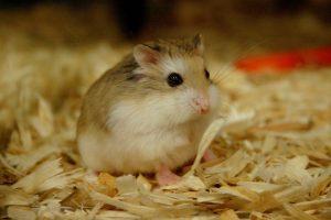 Chữa bệnh ướt đuôi cho hamster