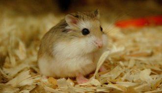 """Phương pháp chữa """"ướt đuôi"""" cho hamster nhà bạn"""