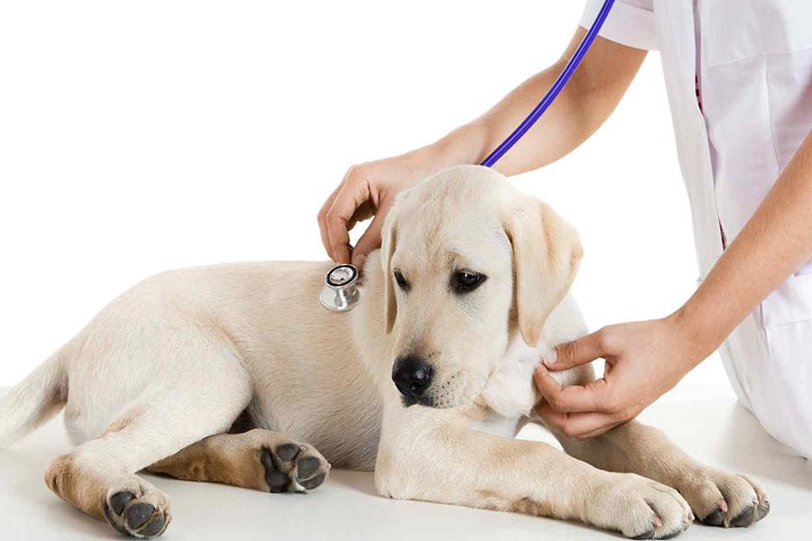 Chữa bệnh ho cũi ở chó