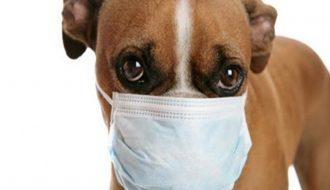 Phương pháp điều trị bệnh ho cũi ở chó chi tiết nhất