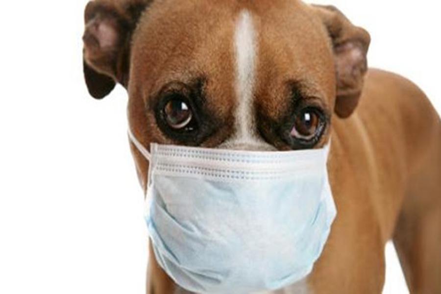 Bệnh ho cũi ở chó