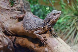 Cách giảm stress hiệu quả cho rồng Úc