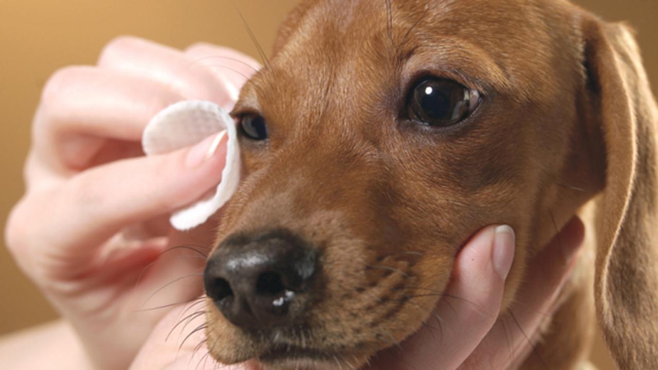 Phương pháp chữa đau mắt cho cún cưng