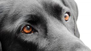 Chữa bệnh đau mắt cho chó