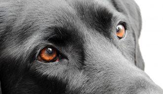 Phương pháp phòng và chữa bệnh đau mắt cho chó