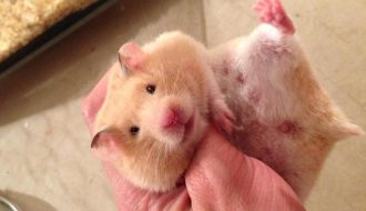 Quá trình chăm sóc chuột Hamster từ khi mang thai đến khi sinh con
