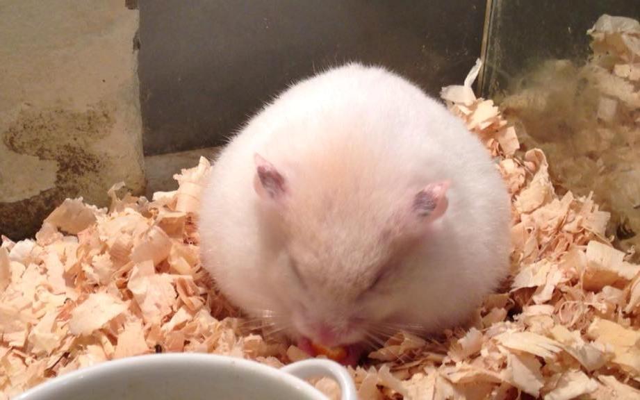 Một số dấu hiệu nhận biết khi chuột Hamster mang thai