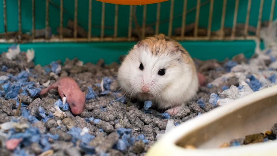 Dấu hiệu cho thấy chuột trước khi đẻ