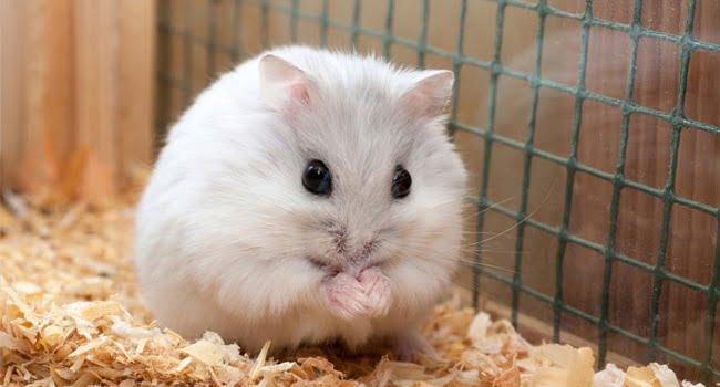 Giới thiệu về chuột hamster