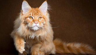 Khám phá mọi điều về chú mèo Maine Coon khổng lồ