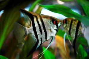 Tất tần tật những thông tin cần biết về loài cá Thần Tiên