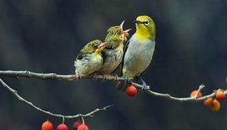 Tất tần tật thông tin cần thiết về giống chim Vành Khuyên