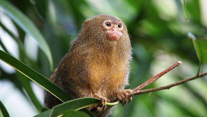 Phong trào nuôi khỉ đuôi Sóc nở rộ