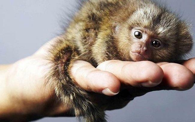 khỉ đuôi sóc nằm gọn trong lòng bàn tay