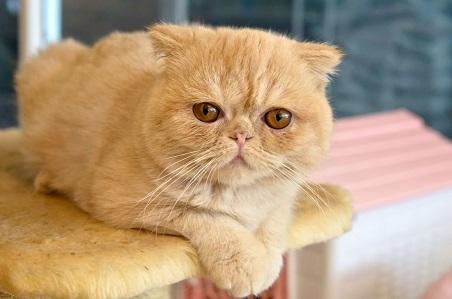 Nguồn gốc của mèo Ba Tư lông ngắn