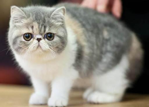 Các bệnh nguy hiểm đối với mèo Exotic
