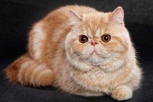 Mèo Ba tư lông ngắn