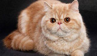 Tất tần tật về giống Mèo Ba Tư Lông Ngắn Siêu Dễ Thương - Mèo Exotic
