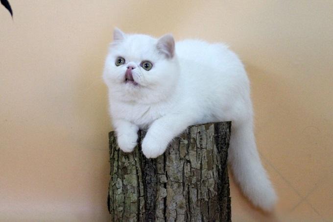 Một số điểm thú vị của mèo Exotic