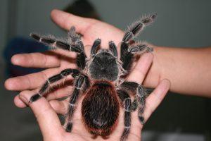 Thú cưng Nhện Tarantula