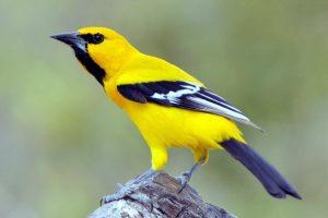 Chim Vàng anh có giọng hót hay