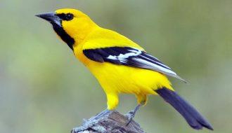Loài chim cảnh gắn liền với chuyện Tấm - Cám: Vàng anh