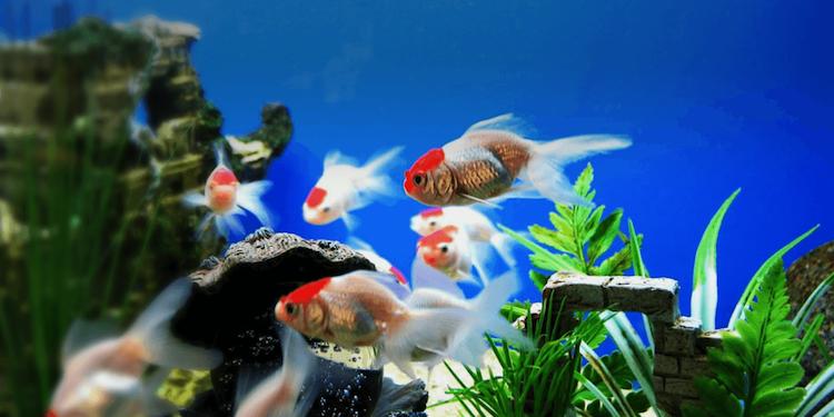 Kỹ thuật nuôi cá cảnh không cần oxi