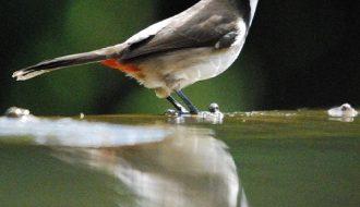 Top 4 cách chăm sóc cho chim chào mào vào mùa thay lông