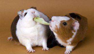 Top 4 giống chuột Hamster cực kỳ nổi tiếng ở Việt Nam