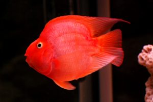 Trang trí bể cá thêm sắc màu bằng cá Hồng Két