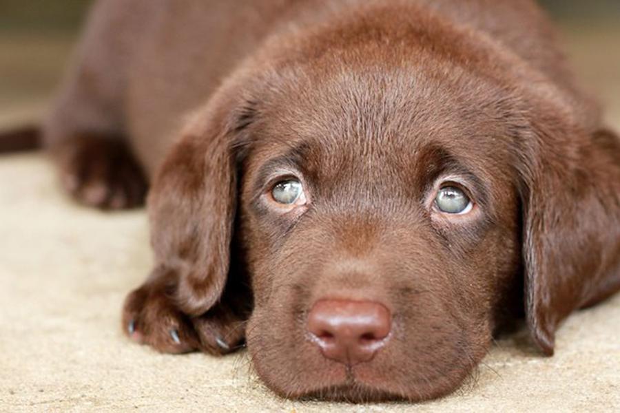 Lưu ý trong điều trị parvo ở chó