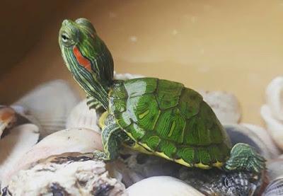 Rùa tai đỏ khỏe mạnh