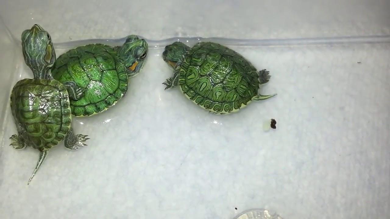 rùa tai đỏ sống trong bể