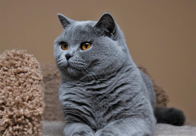 Vệ sinh cho mèo Anh lông ngắn