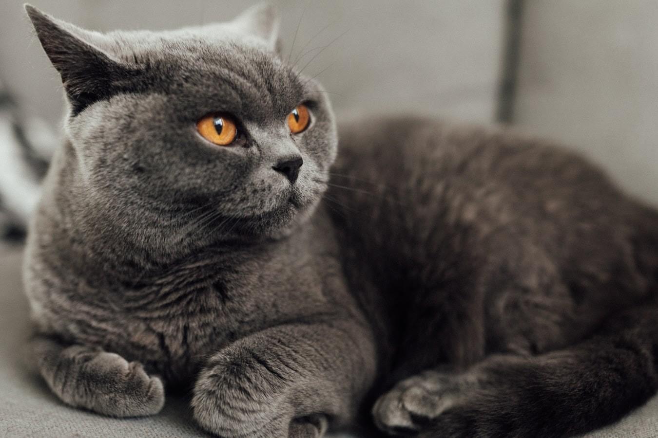 Mèo ALN cần được chải lông thường xuyên.
