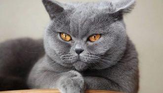 Vệ sinh cho mèo Anh lông ngắn và những điều nên biết