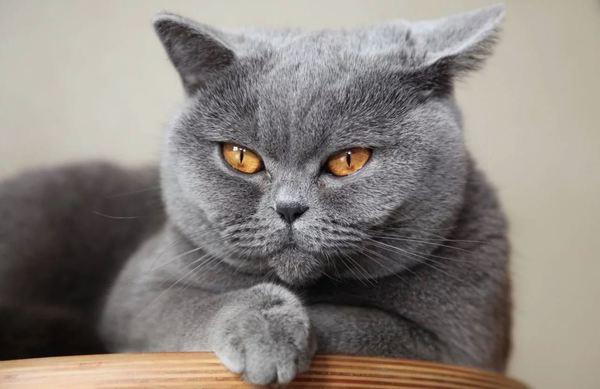 Mèo anh lông xám