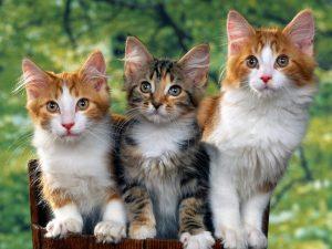 Kinh doanh mèo cảnh đã trở thành xu thế